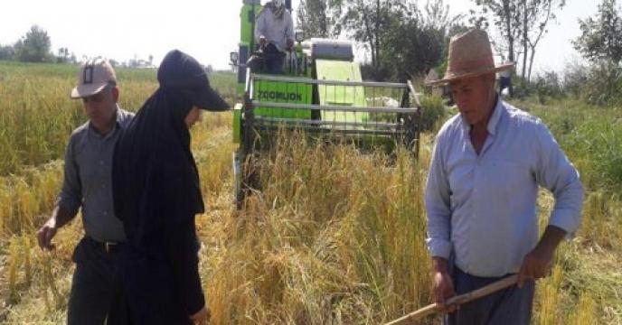 82 درصد از شالیزارهای آمل مازندران به زیر کشت مجدد برنج رفت