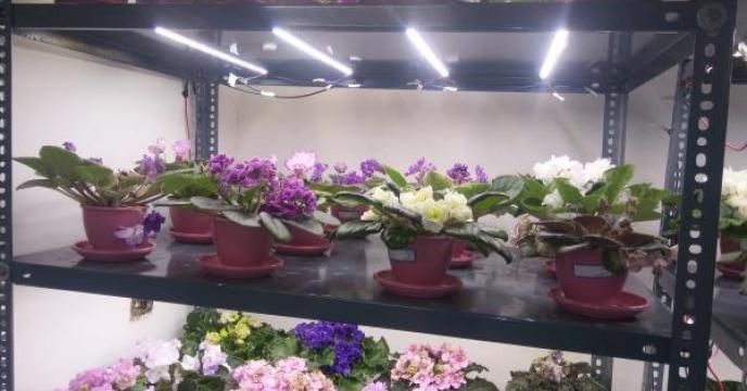 افتتاح گلخانه پرورش گل بنفشه آفریقایی در آمل مازندران