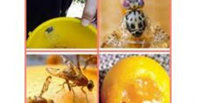 15 ایستگاه ردیابی آفت مگس میوه در بابلسر مازندران