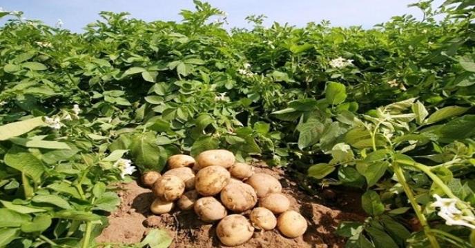 تامین کود برای 30هکتار مزارع سیب زمینی در گلوگاه