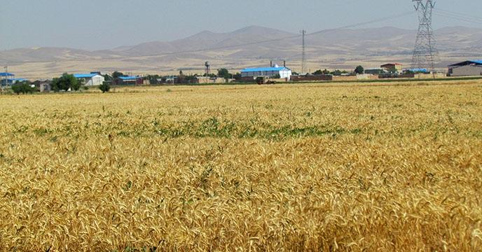 بیش از ۴۰۰ هزار هکتار سطح زیرکشت گندم آبی و دیم استان همدان
