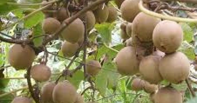 تامین کود برای تولید 2 هزار تن کیوی در نور استان مازندران