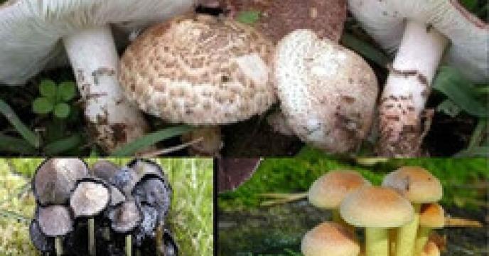 استان البرز دارای رتبه دوم در تولید قارچ خوراکی در سطح کشور