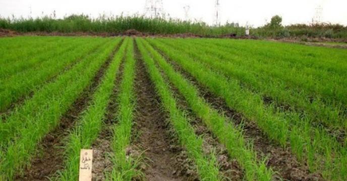 کشت بیش از ۴۰۰ هکتار برنج تاکنون در گلستان