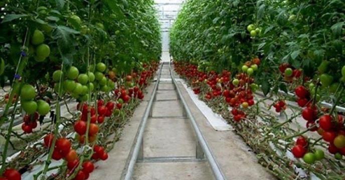 آغاز برداشت گوجه فرنگی در خوسف