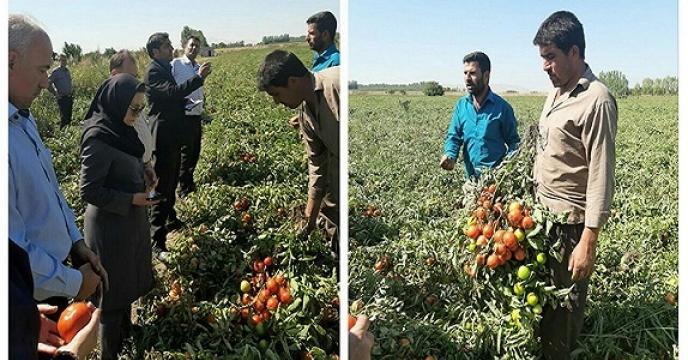 کشاورز نمونه میاندوآبی کاندید نمونه کشوری تولید محصول گوجه فرنگی شد