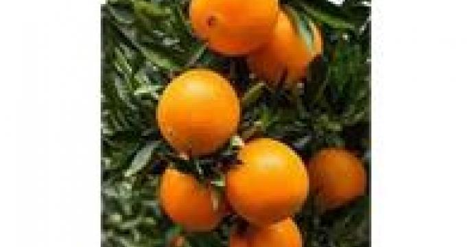 بیش از 4 هزار هکتار باغ پرتقال تامسون در میاندورود استان مازندران