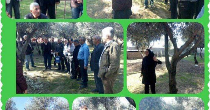 تهیه کود های کشا ورزی زیتون کاران از طریق کارگزاری های شرکت خدمات حمایتی کشاورزی استان گلستان