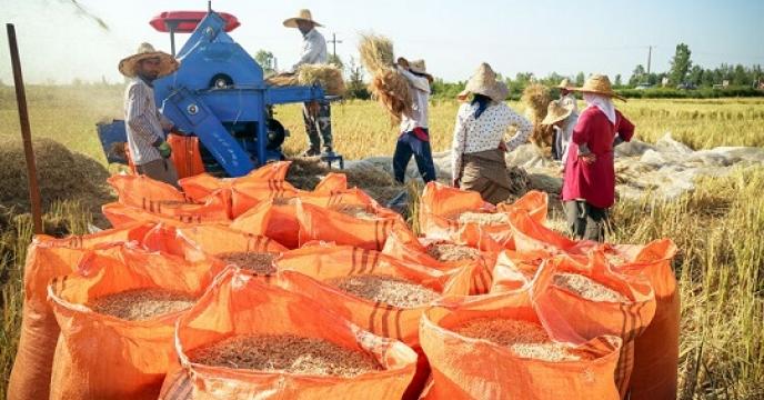 حمل 42هزار کیلوگرم شلتوک برنج به انبارهای استان مازندران