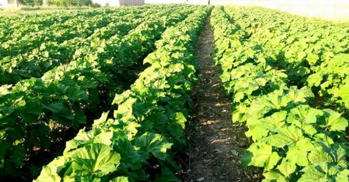 کاشت بامیه در اراضی کشاورزی شهرستان دره شهر
