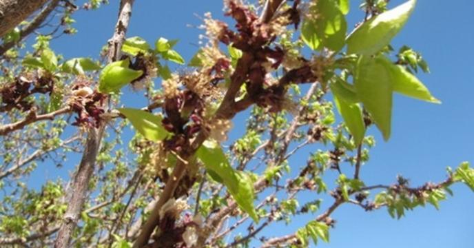 برداشت میوه از باغات البرز ۸۲ درصد کاهش خواهد داشت