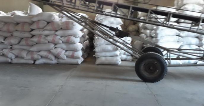 آغاز عملیات بوجاری بذر شلتوک برنج در مازندران