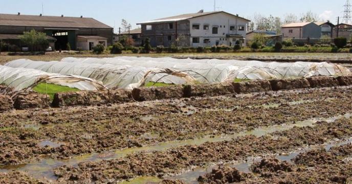 تدارک بذور برنج مادری وگواهی شده مورد نیاز سال زراعی 98-97استان گیلان، تاکنون