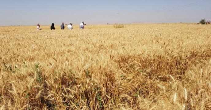 آغاز خرید بذر گندم