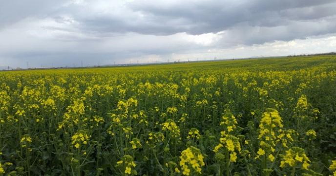 بازدید مدیر شرکت خدمات حمایتی کشاورزی استان کردستان از مزارع الگویی کلزا