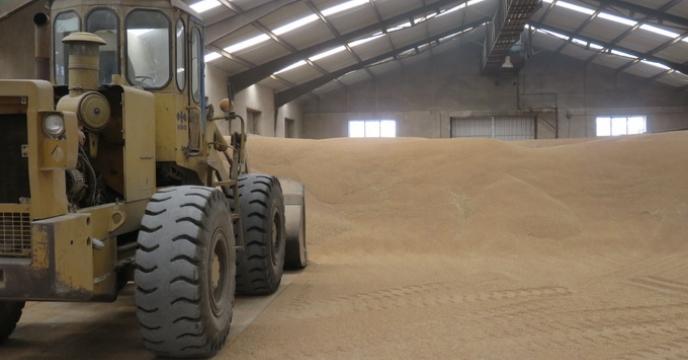 توزیع 535 هزار کیلوگرم بذر گندم در مازندران