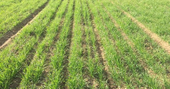 بررسی وضعیت مزرعه طرح الگویی تغذیه گیاهی گندم