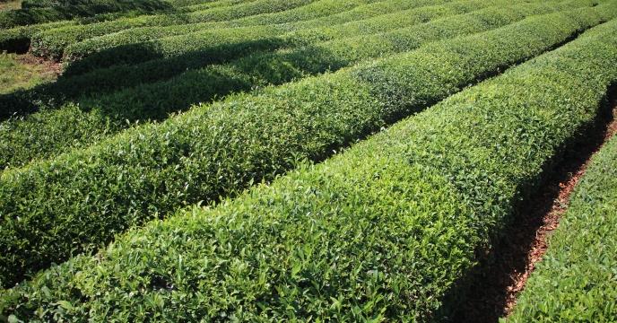 تامین و توزیع بیش از 1100 تن انواع کودهای کشاورزی پر مصرف NPK از ابتدای سال زراعی به چایکاران شهرستان لنگرود استان گیلان