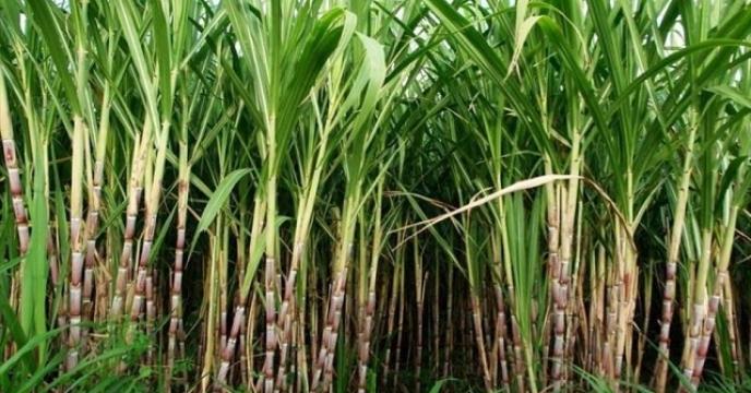 تامین کود برای 80 هکتار مزارع نیشکر در قائم شهر
