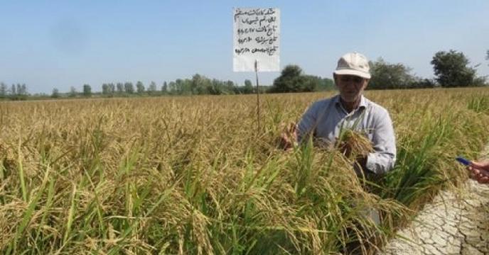 کشت برنج به شیوه خشکه کاری در بهشهر مازندران