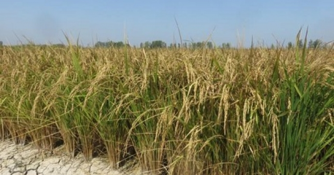 کاهش 70درصدی مصرف آب در روش خشک کاری تولید برنج
