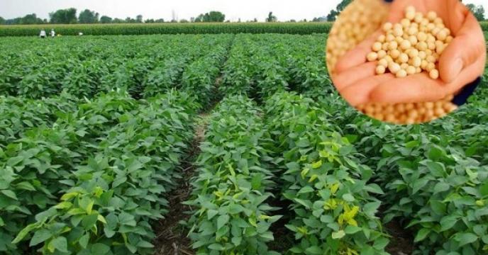 کشت انبوه دانه روغنی سویا در استان مازندران