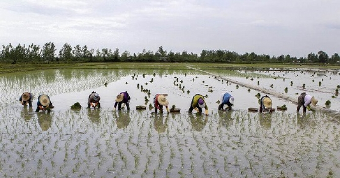 کشت برنج در 8592 هکتار در میاندورود استان مازندران