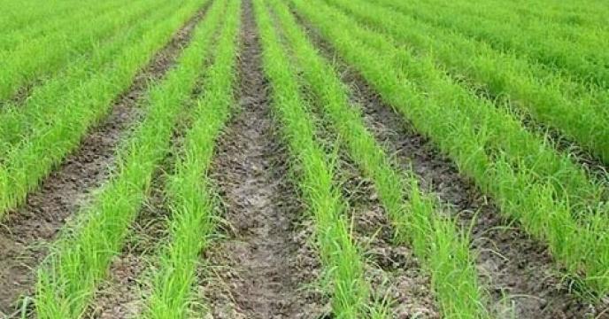 خشکه کاری برنج در مازندران 60درصد هزینه ها را کاهش میدهد