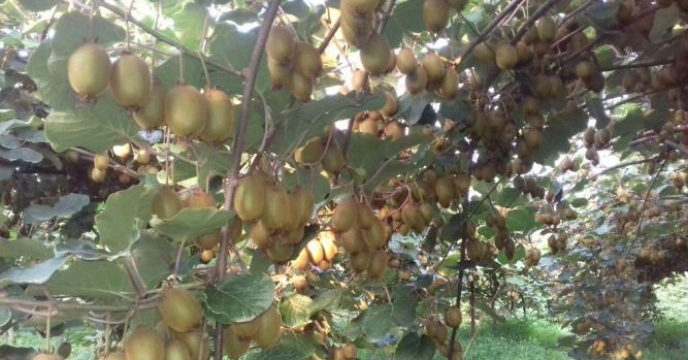 کیوی میوه تندرستی و سلامت