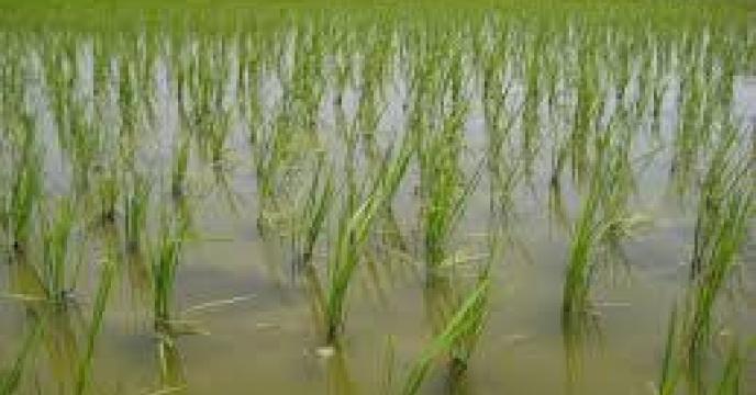 تولید 85 هزار تن برنج، کشت مجدد در بابل استان مازندران