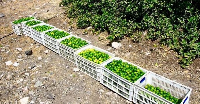 آغاز برداشت لیمو ترش از باغات شهرستان میناب