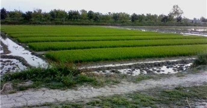 تامین کود برای 20 هزار هکتار مزارع برنج در بابل