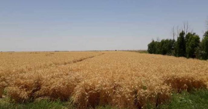 بازدید از برداشت گندم مزارع طرح الگویی مشارکتی تغذیه گیاهی