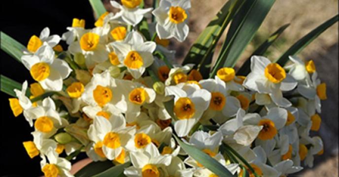 تولید ۱۲ میلیون شاخه گل نرگس در خوسف