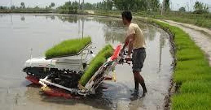 نشاء مجدد برنج در 30هزار هکتاراز شالیزارهای آمل استان مازندران