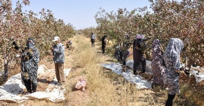 برداشت پسته از 86 هزار سطح زیر کشت شهرستان رفسنجان