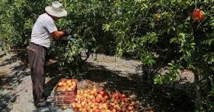 پیش بینی 207 تن انار در میاندورود  استان مازندران