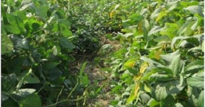پیش بینی برداشت 2500 تن سویا در نکاء استان مازندران