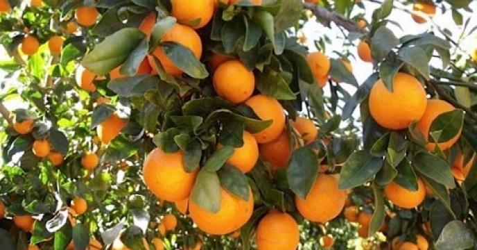 پیش بینی تولید بیش از 255 هزار تن پرتقال در ساری