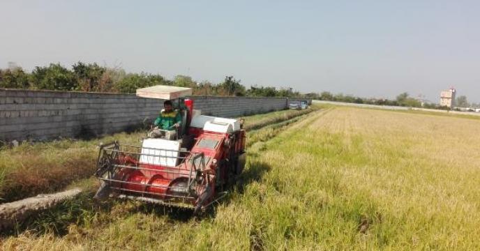 پیش بینی تولید 80هزار تن کشت مجدد برنج در آمل استان مازندران
