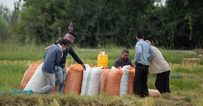 باران و شالیزارهای برنج استان گیلان