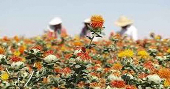 برداشت گلرنگ از حدود دو هزار و ۵۰۰ هکتار از مزارع استان اصفهان آغاز شد.