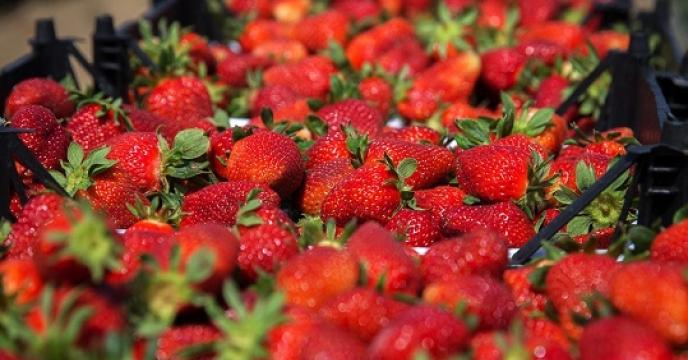 تامین کود برای مزارع توت فرنگی در سیمرغ استان مازندران