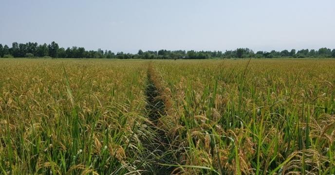 جلسه ویدئو کنفرانس کمیته فنی بذر برنج کشور