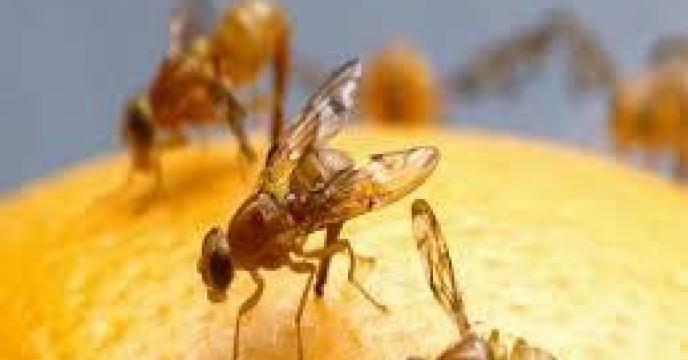 ردیابی مگس میوه در 5700 هکتار از باغات تنکابن مازندران