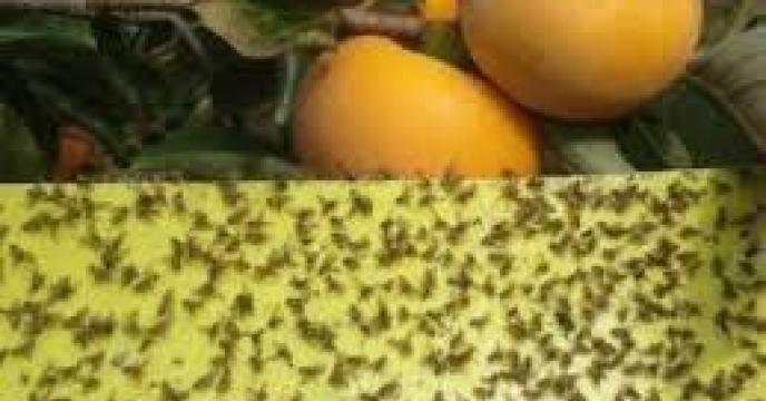 ردیابی مگس میوه در 450 هکتار از باغات محمودآباد