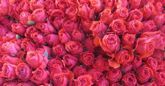 تولید سالانه ۱۲ میلیون  شاخه گل رز در استان البرز