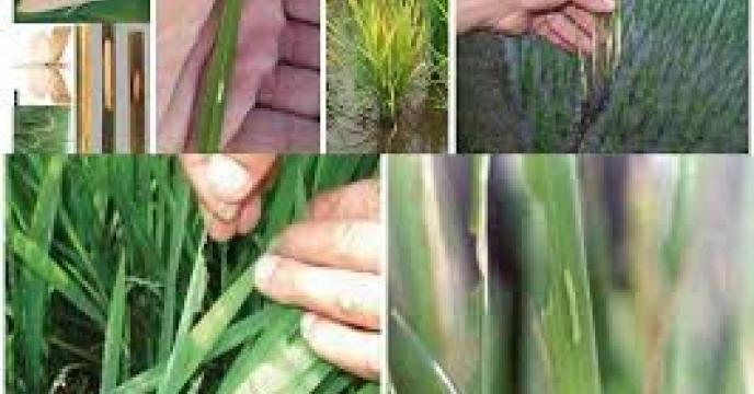 مبارزه برعلیه نسل دوم ساقه خوار برنج در استان مازندران