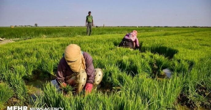 کشت 2600 هکتار یونجه در استان البرز