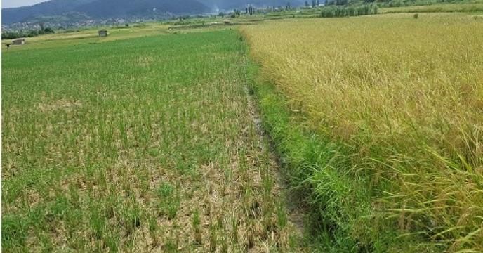 پیش بینی تولید 7300تن شلتوک برنج در سوادکوه شمالی استان  مازندران